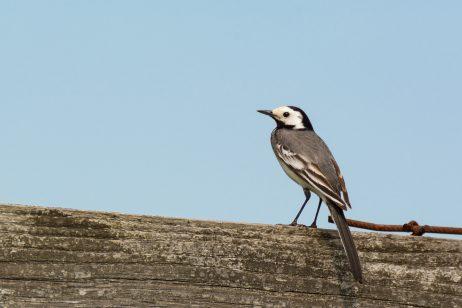 FREE IMAGE: Small bird - White wagtail | Libreshot Public Domain Photos