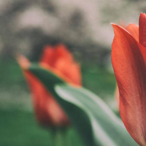 Red tulips – nature art