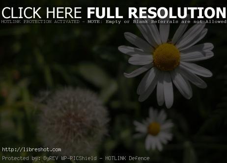 Leucanthemum Flower