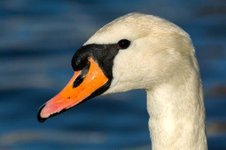 Free Image: White Swan Portrait | Libreshot Public Domain Photos