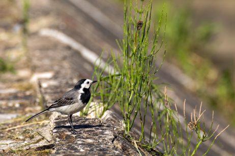 FREE IMAGE: White wagtail bird | Libreshot Public Domain Photos