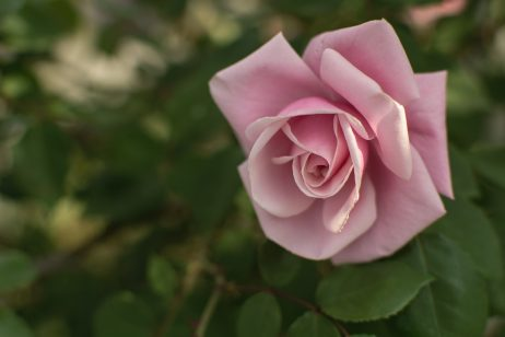 FREE IMAGE: Pink rose | Libreshot Public Domain Photos