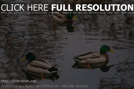 Free image of Three Wild Ducks