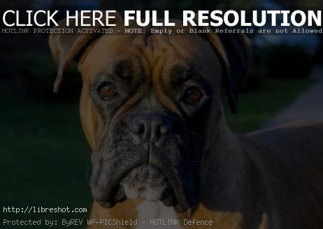 Boxer dog face