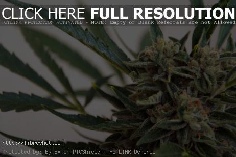 Free image of Marijuana