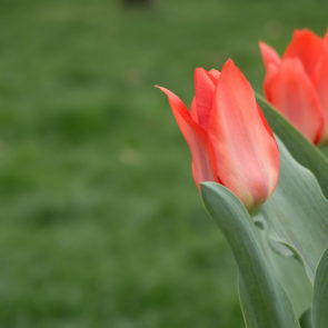 Red Tulips On Green Background