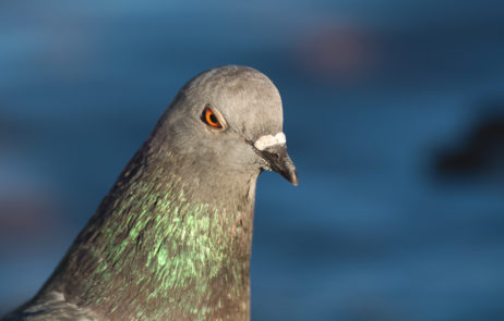 Free Image: Angry Pigeon | Libreshot Free Stock Photos