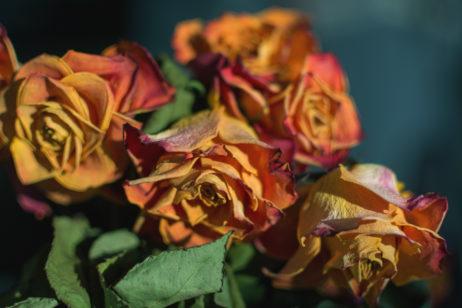 Free Image: Dry Roses | Libreshot Free Stock Photos
