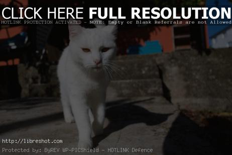 Free image of White Cat
