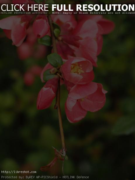 Free image of Pink Flowers