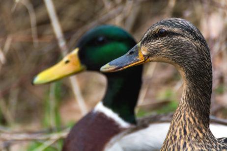 Free Image: Pair of ducks | Libreshot Public Domain Photos