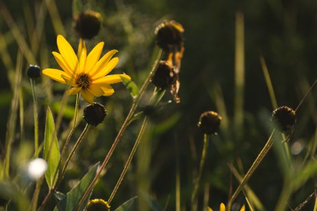 FREE IMAGE: Yellow Flower on the Meadow | Libreshot Public Domain Photos
