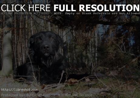 Lying Black Dog