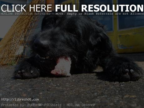 Black dog eating meat
