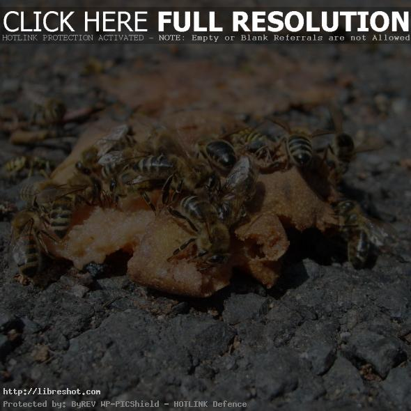 Bees eating an apple