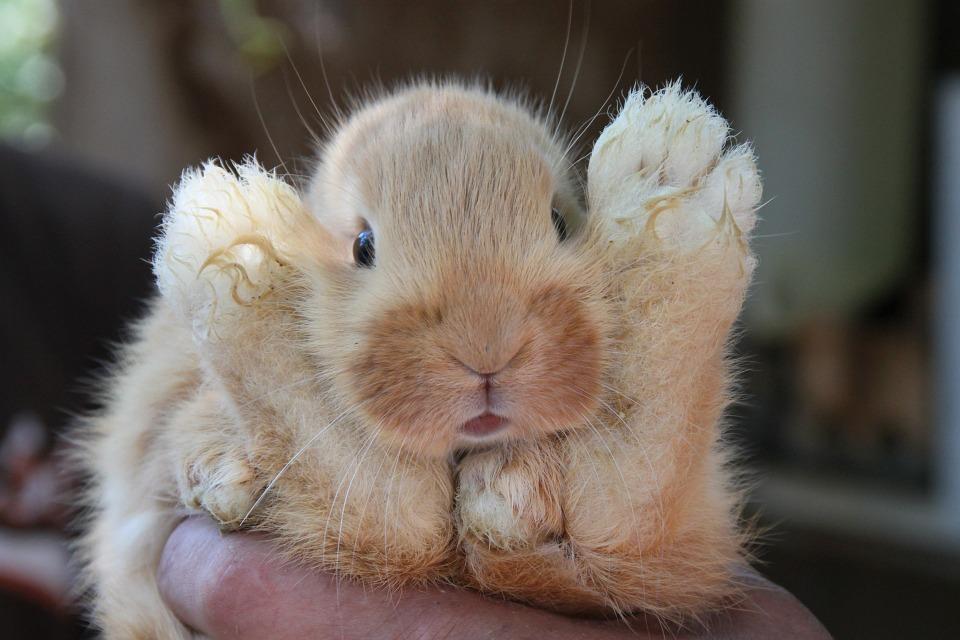 rabbit, baby, hair