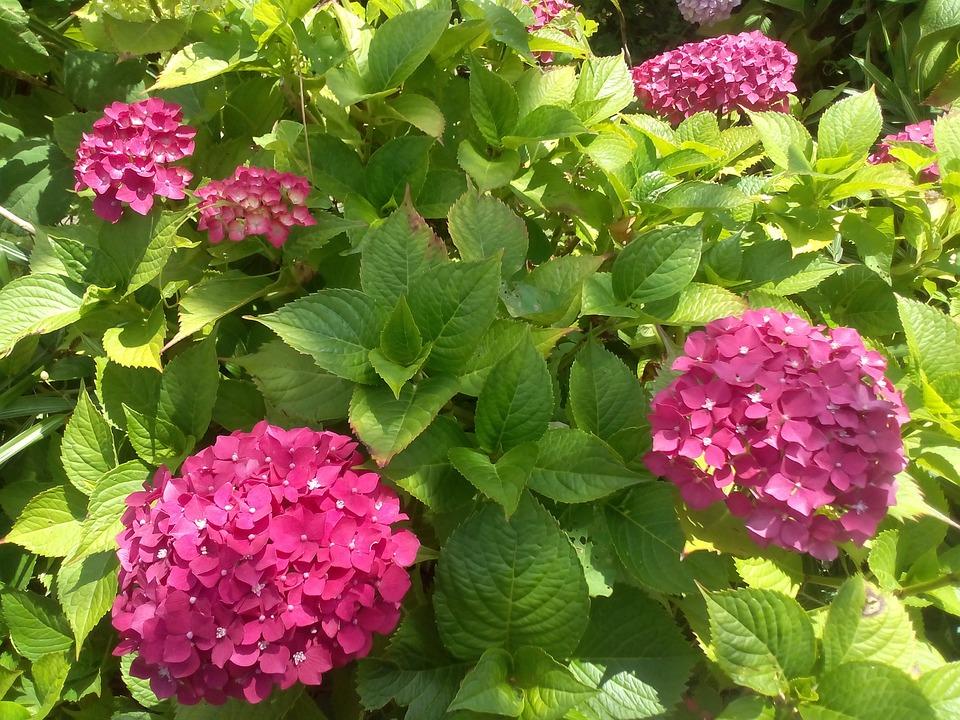hydrangea, flowers, garden