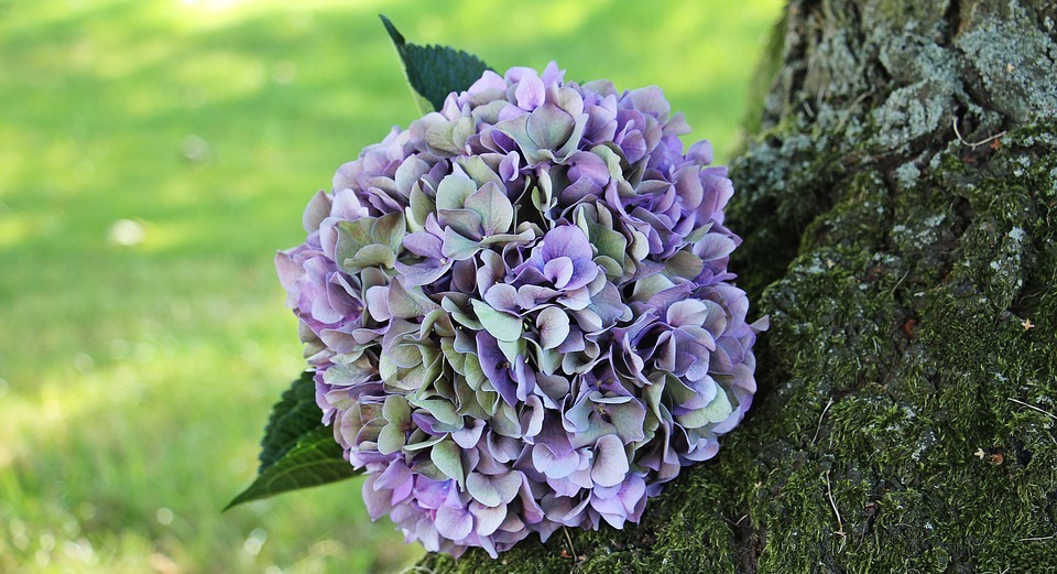 hydrangea, flower, blossom