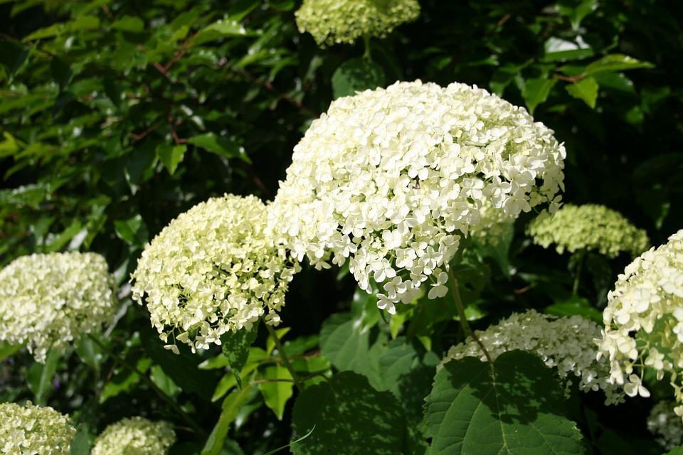 hydrangeas, plant, blossom