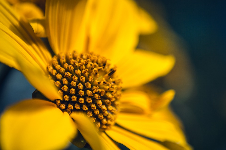 sunflower, yellow, floral