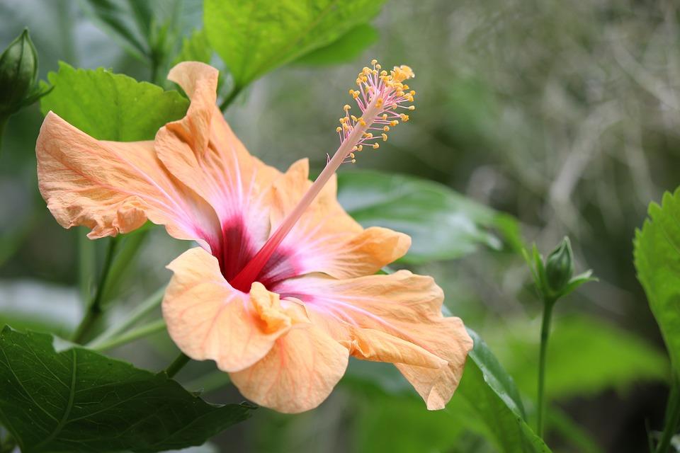 hibiscus, exotic, tropical