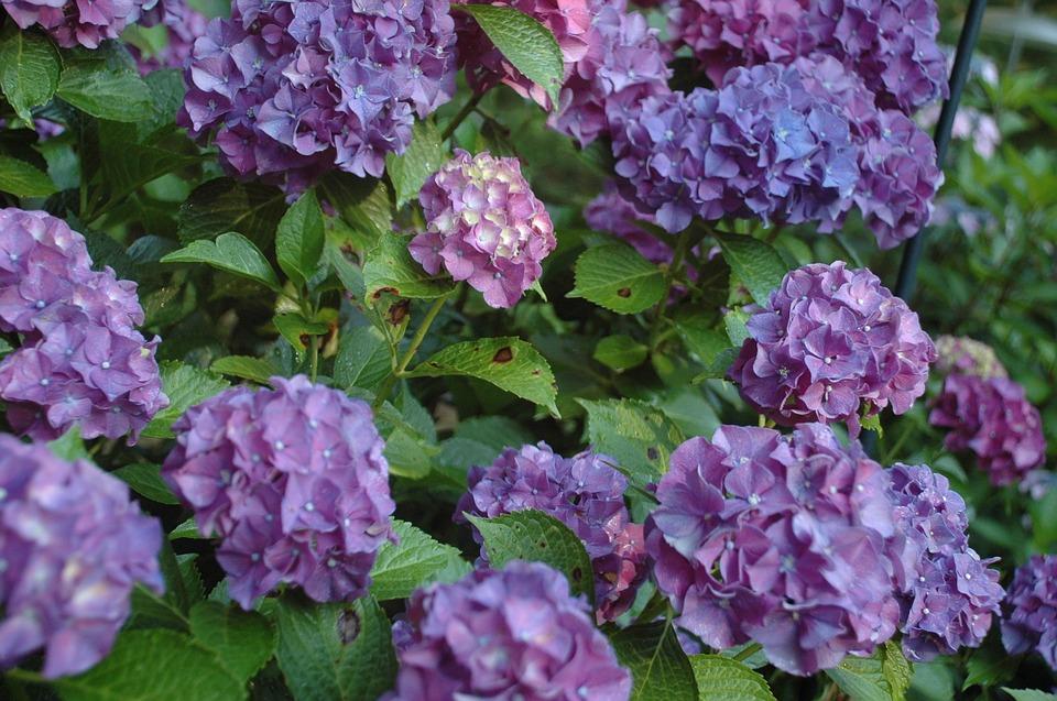 hydrangea, purple flowers, floral