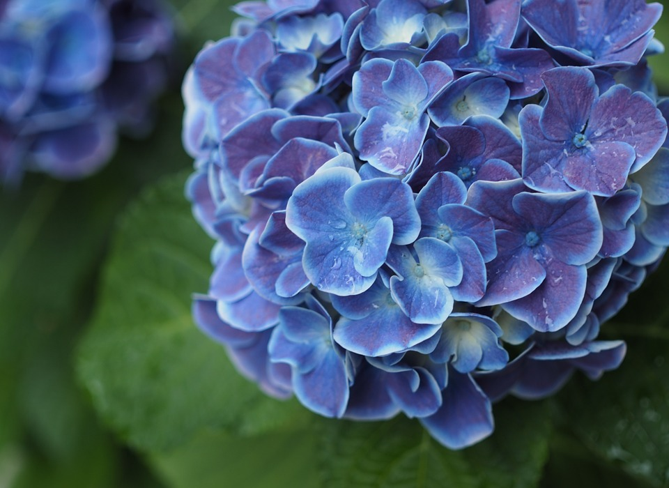 hydrangea, drop of water, rain