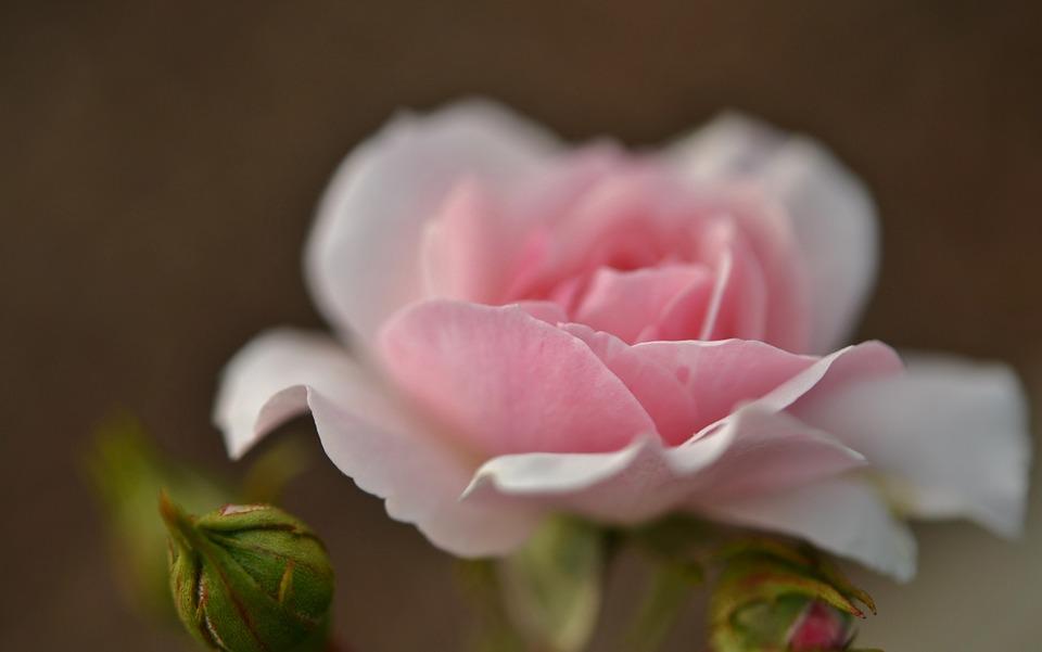 rose, pink, flower