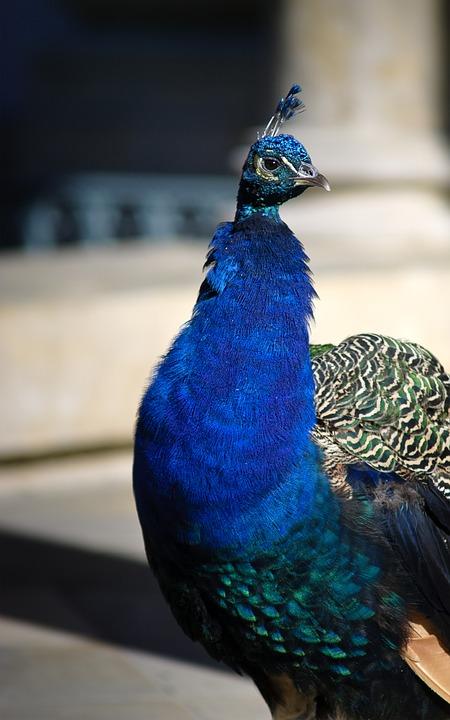 peacock, colorful peacock, bird