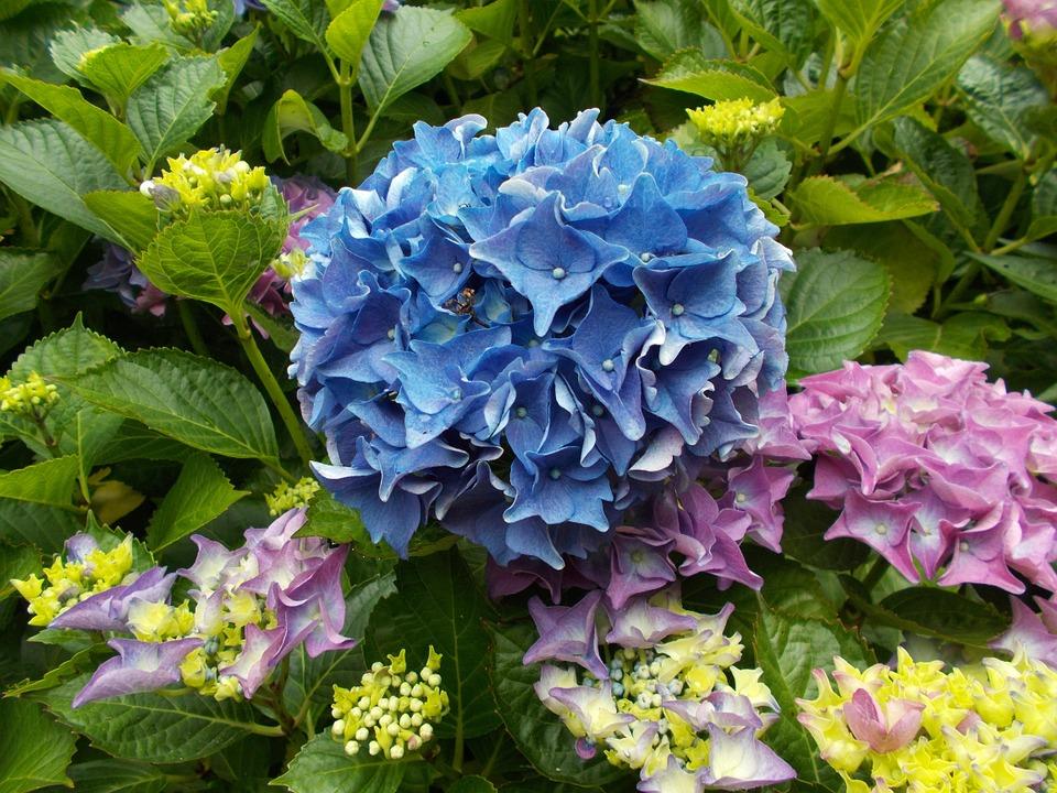 hydrangea, blue, flower