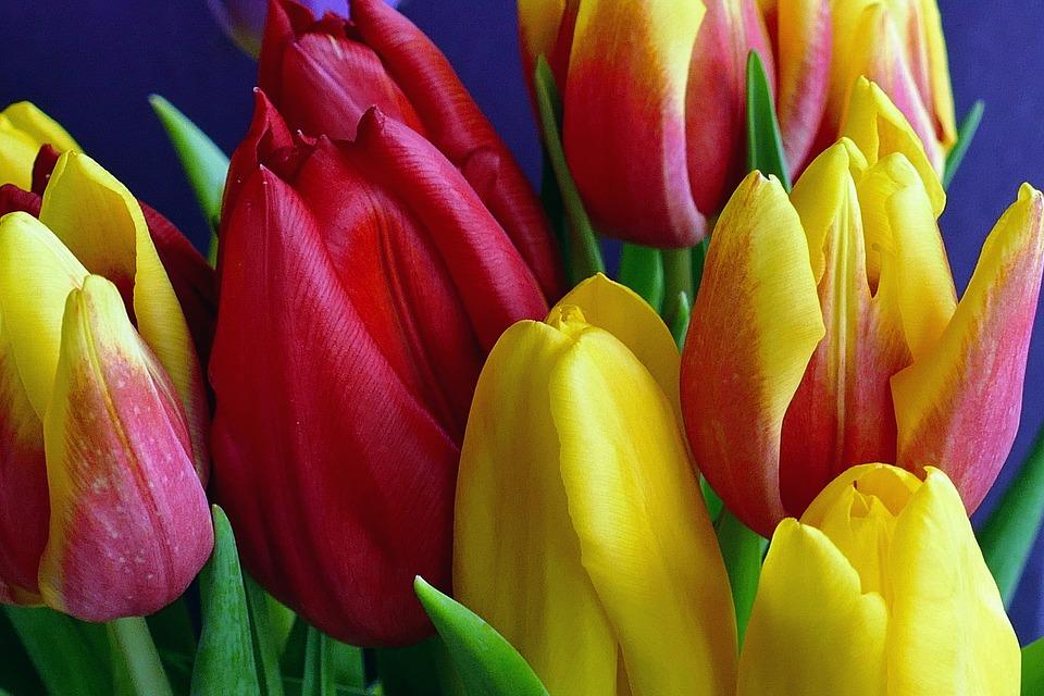 flowers, tulips, spring