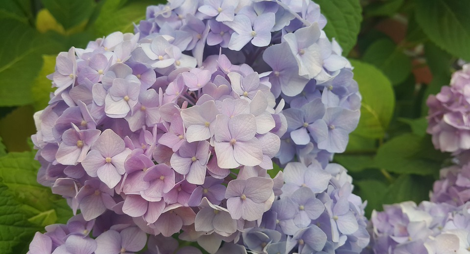 hydrangea, purple, white