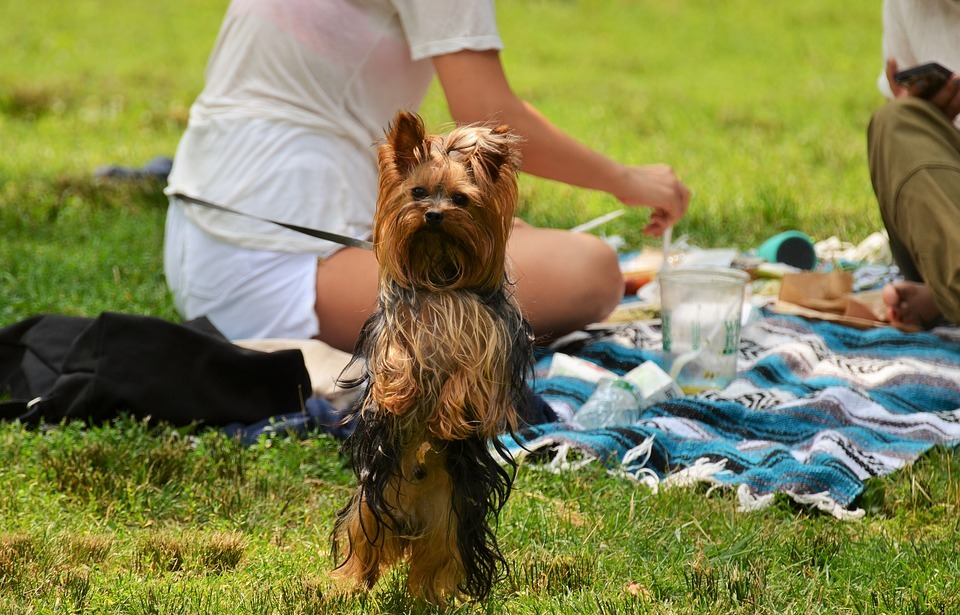 yorkshire, dog, picnic