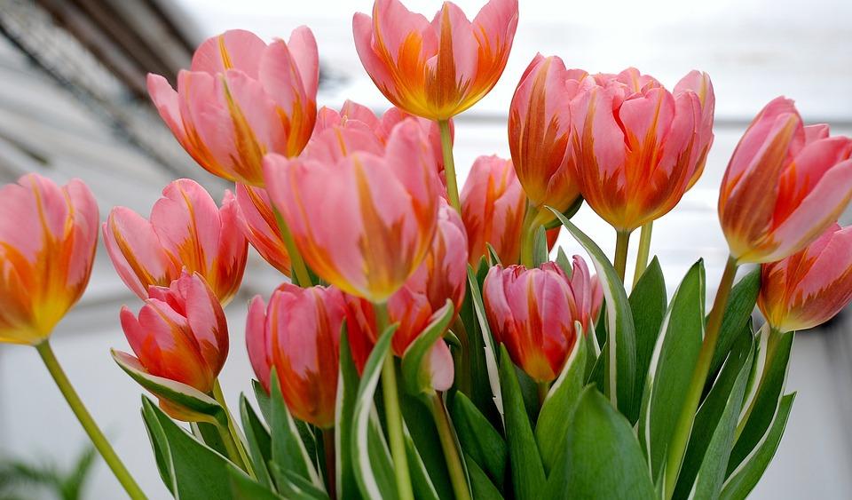 tulip, tulips, flower