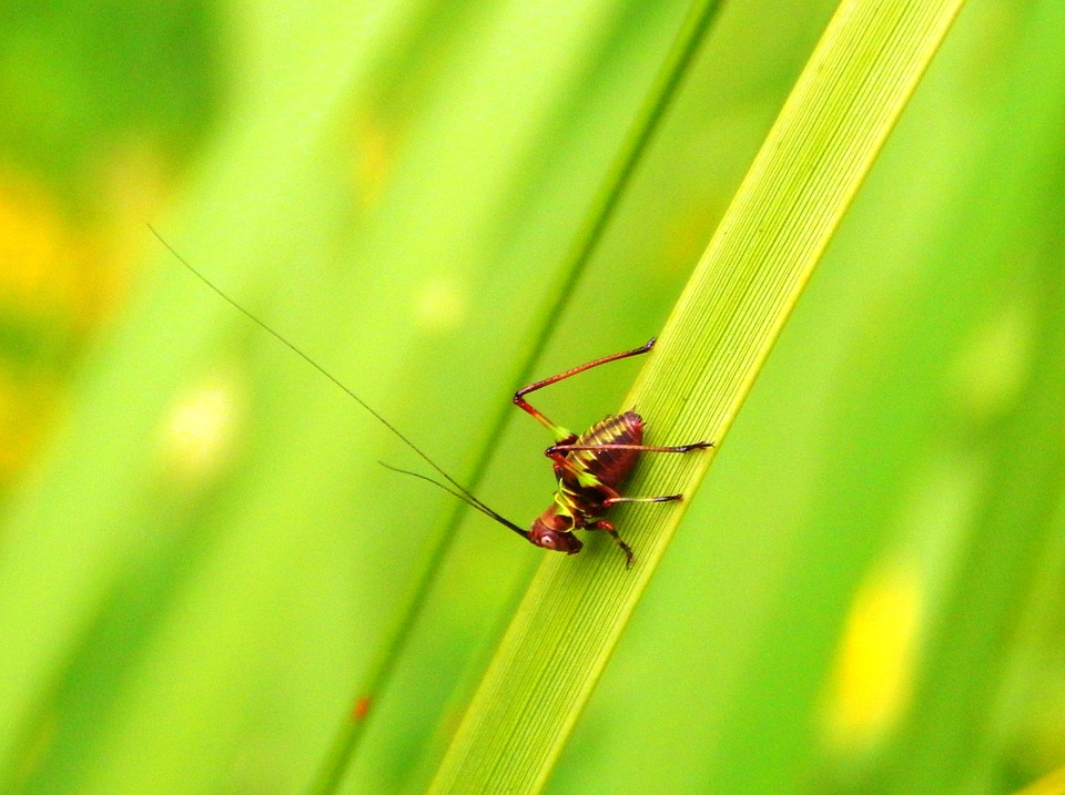 insect, invertebrate, cricket