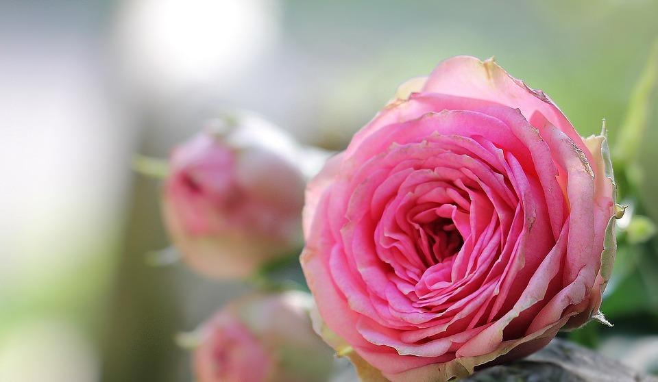 rose, bush röschen, pink rose