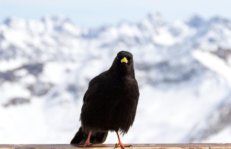 chough, bird, angry bird