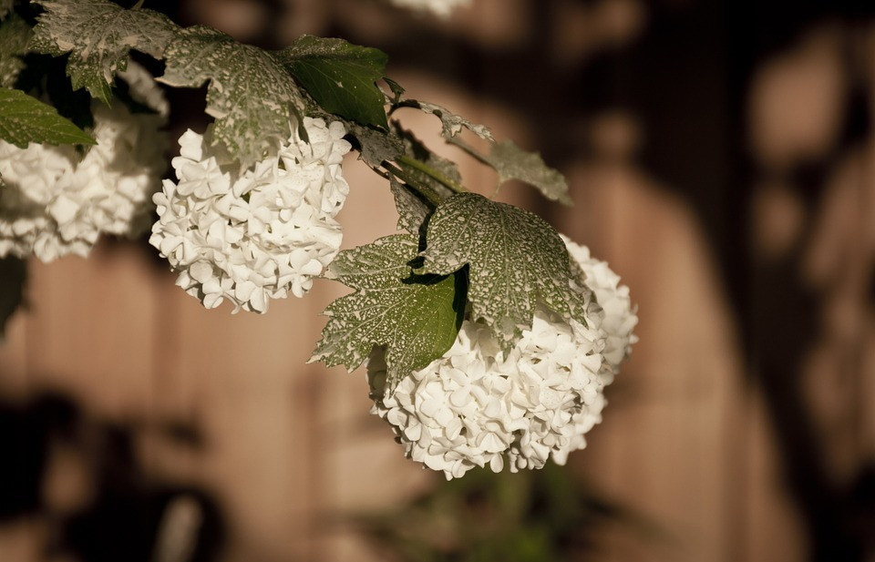 hydrangea, snow ball flowers, white