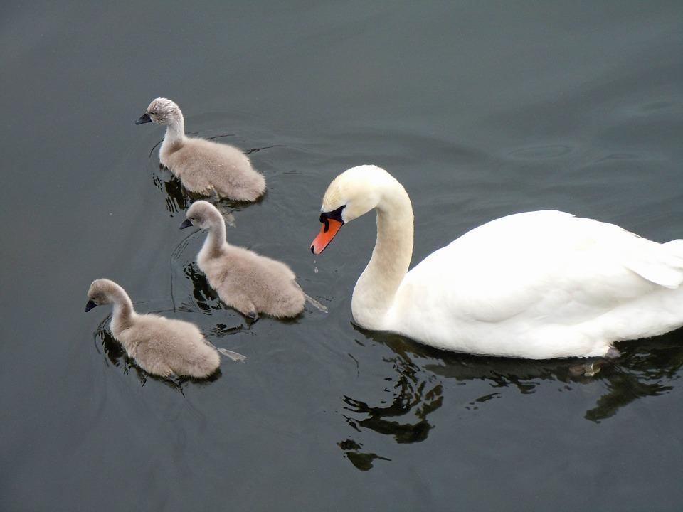 schwaenenfamilie, swans, swan babies