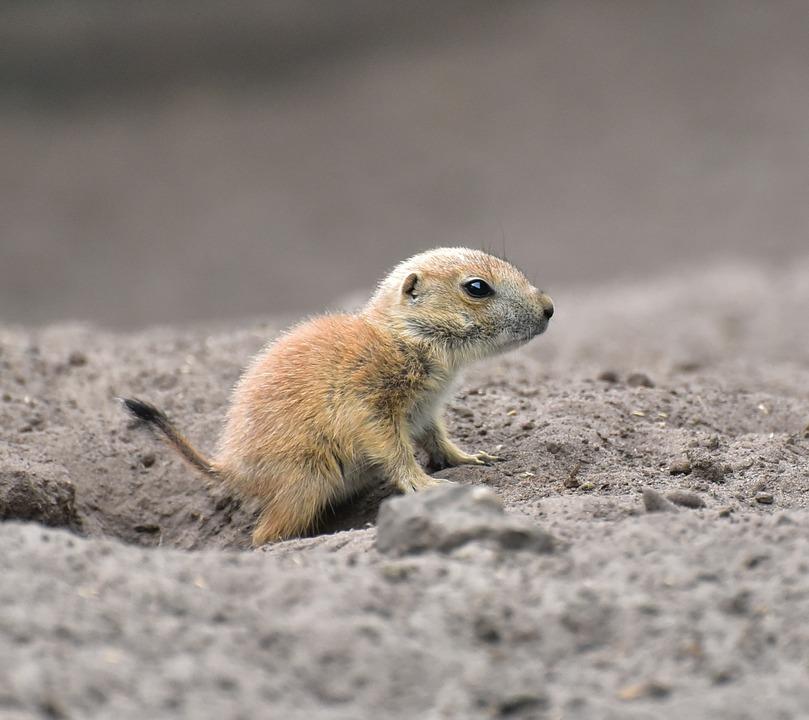 meerkat, baby, animal