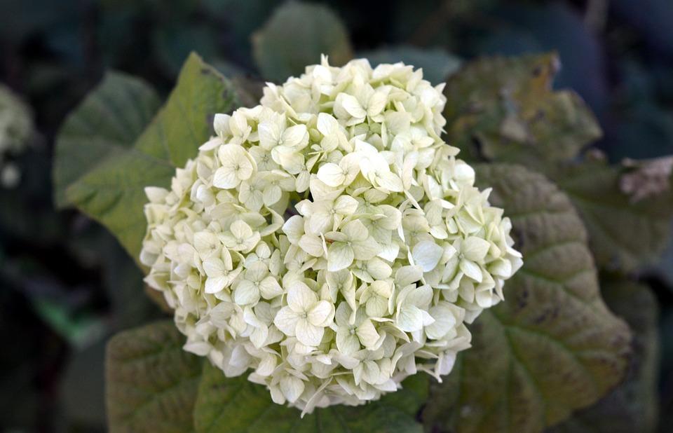 hydrangea, white, autumn
