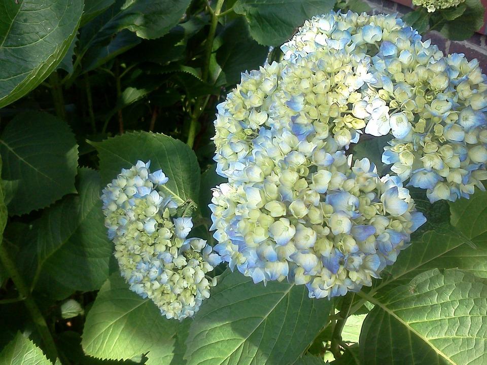 hydrangea, blue, pastel
