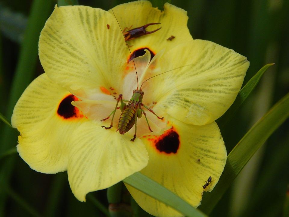insect, invertebrate, cricket