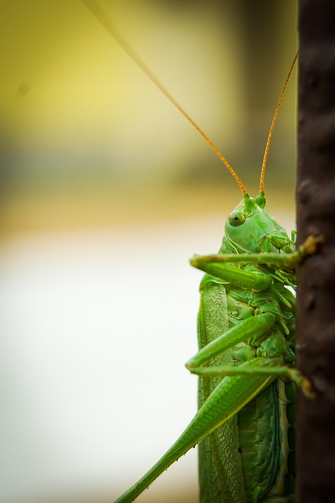 grasshopper, insect, cricket