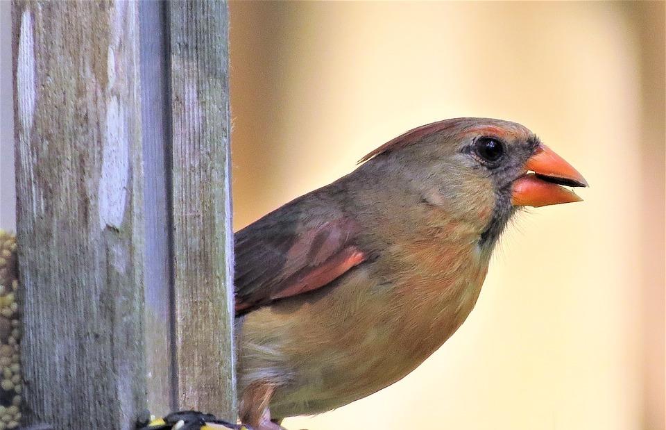 bird, colorful, female cardinal