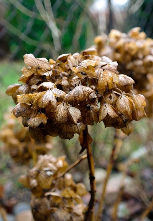 hydrangea, autumn, flower