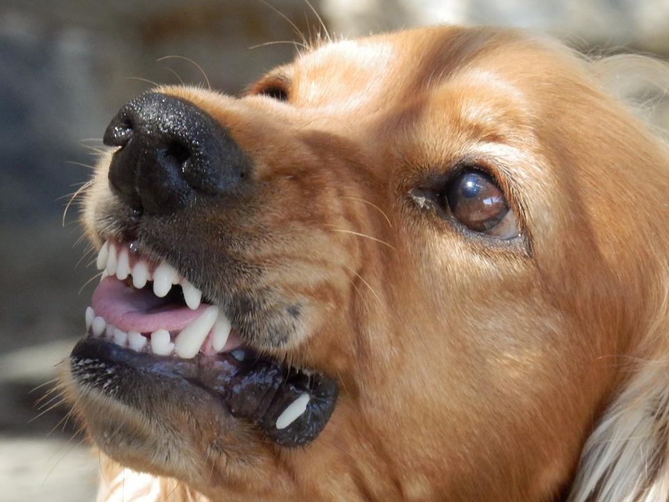dog, angry dog, aggressive