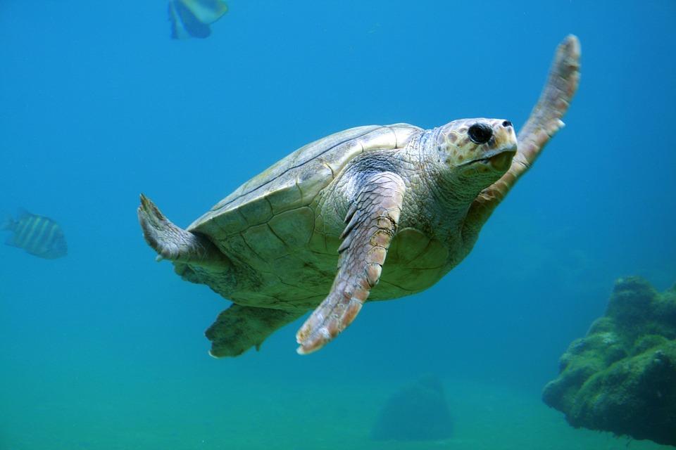 turtle, underwater, water