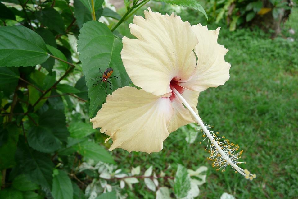 thailand, exotic flower, blossom
