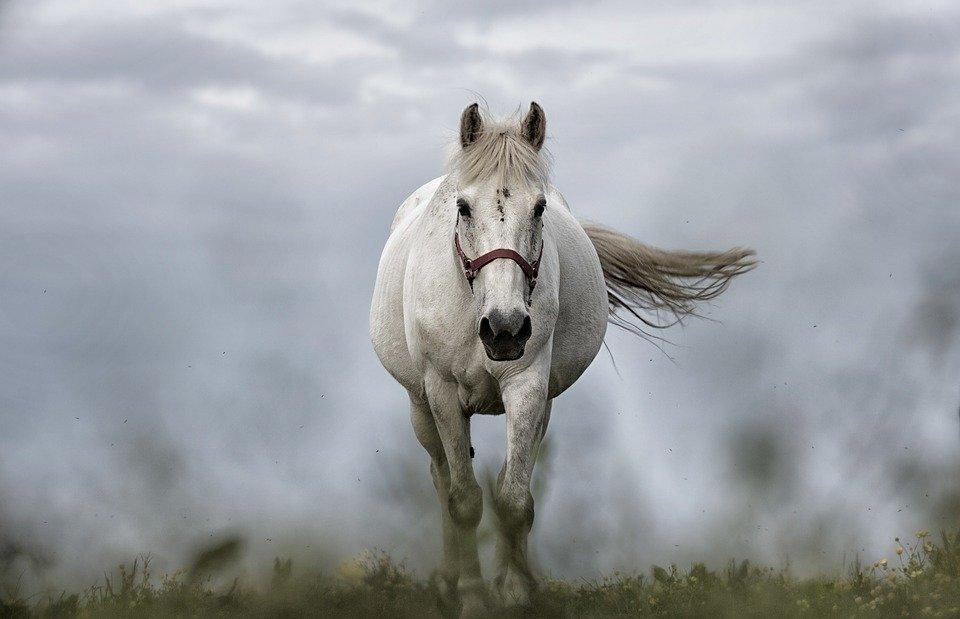 white horse, horse, nature